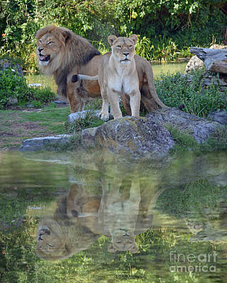 Photograph - Male And Female Lions By A Lake by Jim Fitzpatrick