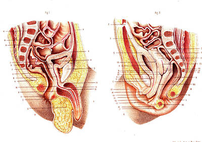 Male And Female Reproductive Organs Art Print by Collection Abecasis