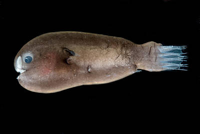 Nekton Photograph - Male Anglerfish, Linophrynidae by Dant� Fenolio