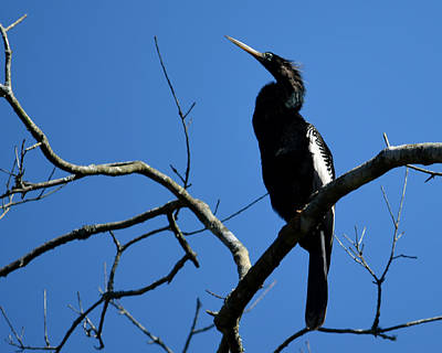 Photograph - Male Anhinga by Judy Wanamaker