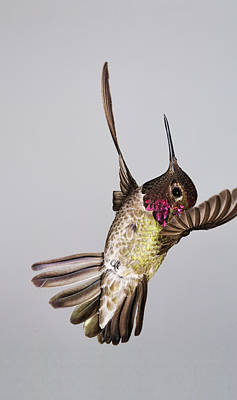 Photograph - Male Annas Hummingbird by Gregory Scott