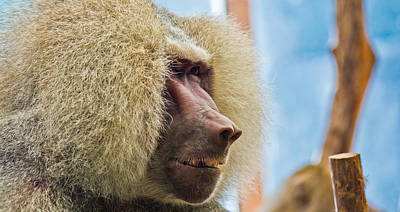 Photograph - Male Baboon by Jonny D