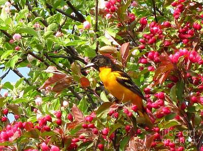 Photograph - Male Baltimore Oriole by J McCombie