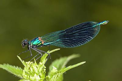 Demoiselles Photograph - Male Banded Demoiselle Damselfly by Bob Gibbons