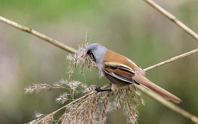 Norfolk Wall Art - Photograph - Male Bearded Tit Collecting Reed Seeds by Bob Gibbons/science Photo Library