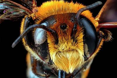 Male Bee Head Art Print by Us Geological Survey