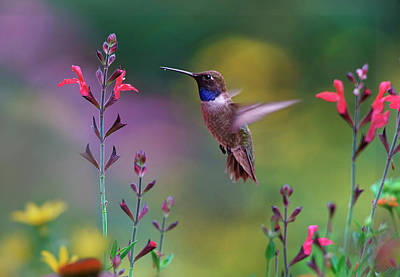 Hummingbird Photograph - Male Black-chinned Hummingbird by Tim Fitzharris