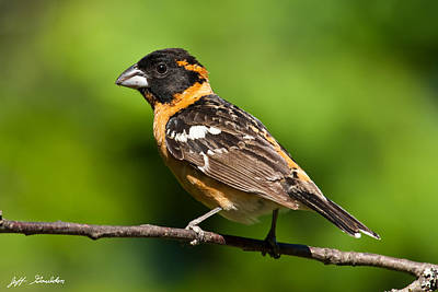 Male Black Headed Grosbeak In A Tree Art Print