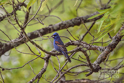 Photograph - Male Blue Grosbeak by Jai Johnson