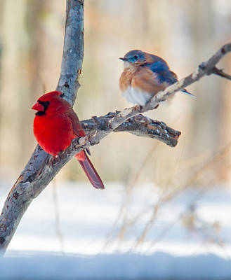 Birds Royalty-Free and Rights-Managed Images - Male Bluebird and Cardinal on Branch by Douglas Barnett