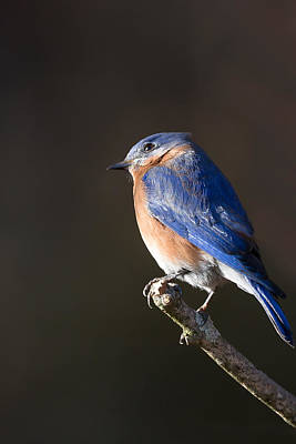 Bluebird Photograph - Male Bluebird by Bill Wakeley