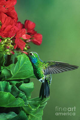 Photograph - Male Broad-billed Hummingbird Cynanthus Latrostis Wild Arizona by Dave Welling