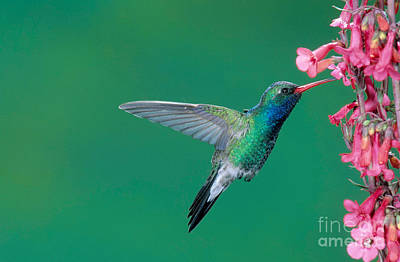 Broadbilled Hummingbirds Photograph - Male Broadbill Hummingbird Hovering by Anthony Mercieca