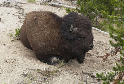 Male Buffalo At Hot Springs Art Print by Belinda Greb