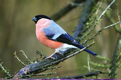 Bullfinch Wall Art - Photograph - Male Bullfinch by Science Photo Library