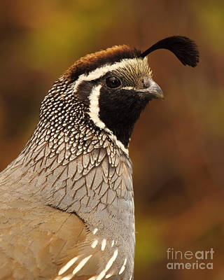 Male California Quail Art Print by Max Allen