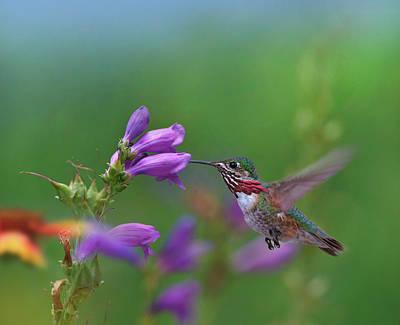Male Calliope Hummingbird (selasphorus Art Print