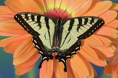 Gerber Daisy Photograph - Male Canadian Tiger Swallowtail by Darrell Gulin