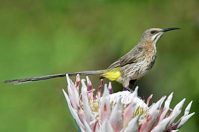 Male Cape Sugarbird Perched On A Protea Art Print