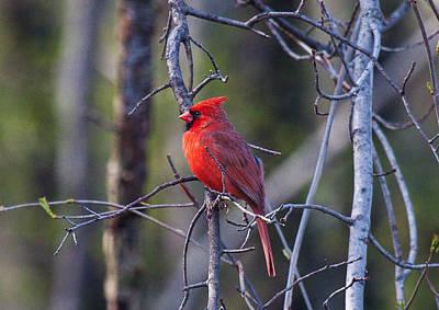 Cardinal Photograph - Male Cardinal -9089 by John Covin