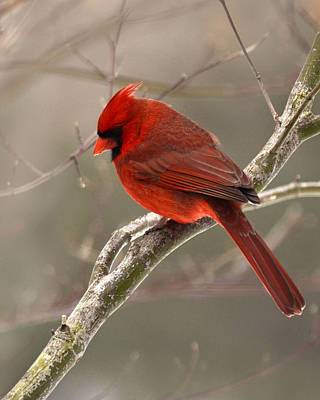 Photograph - Male Cardinal by Ann Bridges