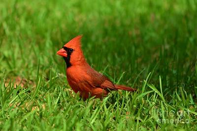 Photograph - Male Cardinal by Bob Sample