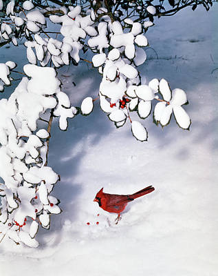 Cardinal Photograph - Male Cardinal Cardinalidae Passeri by Vintage Images