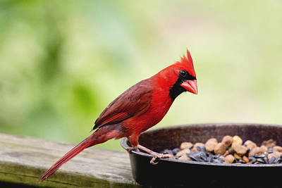 Photograph - Male Cardinal Dinner Time by Dana Moyer