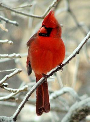 Art Print featuring the photograph Male Cardinal  by Janette Boyd