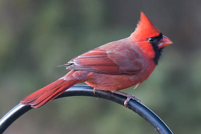 Photograph - Male Cardinal by John Kunze