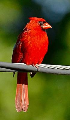 Cardinals Photograph - Male Cardinal On A Wire by Suzi Harr