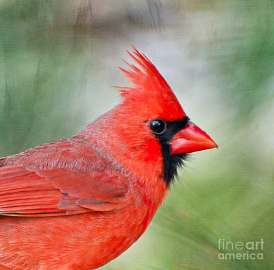 Photograph - Male Cardinal Profile by Kerri Farley