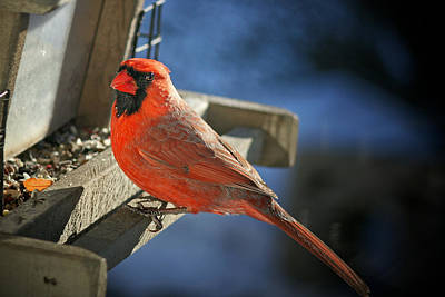 Photograph - Male Cardinal  by Susan  McMenamin