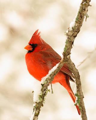 Male Cardinal Print by Thomas Pettengill