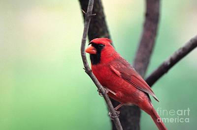 Male Cardinal Art Print by Thomas R Fletcher
