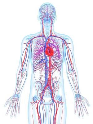 Male Cardiovascular System, Artwork Art Print by Sciepro