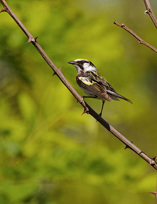 Photograph - Male Chestnut-sided Warbler by Byron Jorjorian
