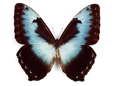 Morpho Wall Art - Photograph - Male Cisseis Morpho Butterfly by Pascal Goetgheluck/science Photo Library