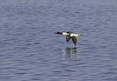 Common Merganser Wall Art - Photograph - Male Common Merganser In Flight by Thomas Young