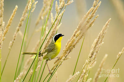 Photograph - Male Common Yellowthroat by Thomas and Pat Leeson