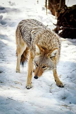 Wetlands Photograph - Male Coyote In Snow by Paul Williams