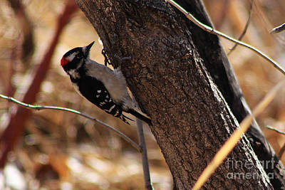 Photograph - Male Downy Woodpecker by Alyce Taylor