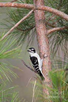 Picoides Pubescens Photograph - Male Downy Woodpecker Picoides Pubescens by Linda Freshwaters Arndt