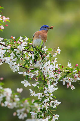 Birds With Flowers Photograph - Male Eastern Bluebird by Bill Wakeley