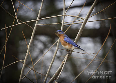 Male Eastern Bluebird Art Print by Cris Hayes
