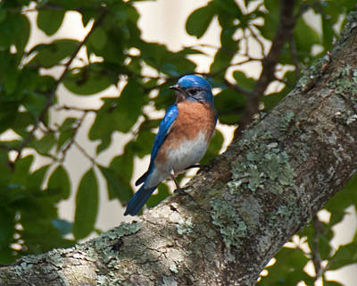 Photograph - Male Eastern Bluebird by John Black