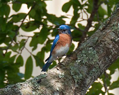 Photograph - Male Eastern Bluebird by John Black