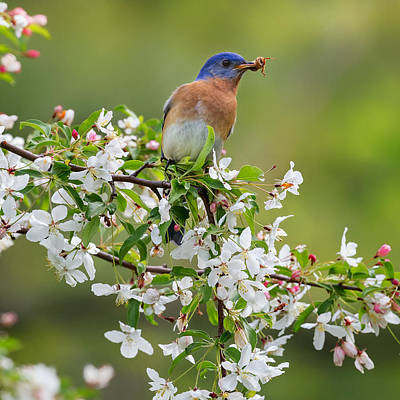 Birds With Flowers Photograph - Male Eastern Bluebird Square by Bill Wakeley