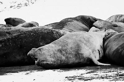 male elephant seal in a colony hannah point livingstone island Antarctica Art Print by Joe Fox