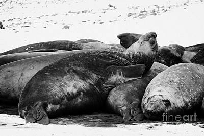 male elephant seal sleeping in a colony hannah point livingstone island Antarctica Art Print by Joe Fox